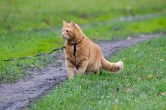 Rote Katze, die auf eine Leine entlang dem Fußweg auf dem Hintergrund geht Lizenzfreie Stockfotografie
