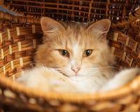 Rote Katze, die in einem Weidenkorb stillsteht Lizenzfreies Stockfoto