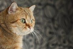 Rote Katze, die oben schaut, sitzend auf schwarzem Hintergrund Stockfotografie