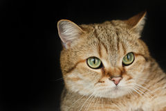 Rote Katze, die oben schaut, sitzend auf schwarzem Hintergrund Lizenzfreie Stockbilder