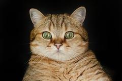 Rote Katze, die oben schaut, sitzend auf schwarzem Hintergrund Lizenzfreie Stockfotografie