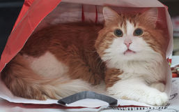 Rote Katze in einer Papiertüte stockfotografie