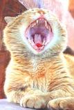 Rote Katze gähnt weit, nachdem sie am Morgen geschlafen hat stockbild