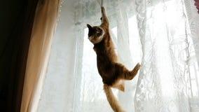 Rote Katze gehangen an die Vorhänge und an die Sprünge hinunter Zeitlupe stock video