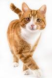 Rote Katze, gehend in Richtung zur Kamera, lokalisiert im Weiß Stockfotografie