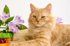 Rote Katze im Badezimmerzubehör, nahe handgemachter Seife, luven, als Lizenzfreies Stockfoto