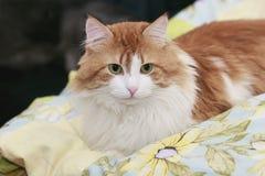 Rote Katze im Ruhezustand stockfotografie