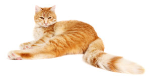 Rote Katze lokalisiert auf weißem Hintergrund Stockfotografie