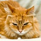 Rote Katze mit großen Abdeckstreifen lizenzfreie stockfotos