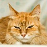 Rote Katze mit großen Abdeckstreifen lizenzfreies stockfoto
