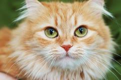 Rote Katze mit großen grünen Augen Stockfotografie