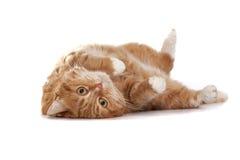 Rote Katze mit orange Augen Stockfotos