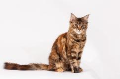 Rote Katze mit Quasten auf den Ohren Lizenzfreies Stockbild