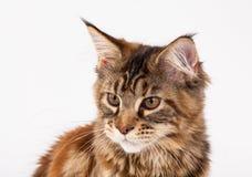 Rote Katze mit Quasten auf den Ohren Stockfotos
