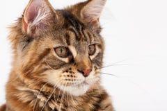 Rote Katze mit Quasten auf den Ohren Stockfotografie