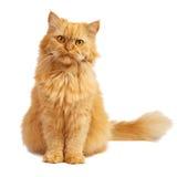 Rote Katze mit roten Augen lizenzfreies stockfoto