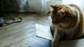 Rote Katze schützt und schützt seinen Kasten stock video footage