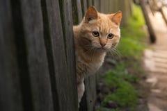 Rote Katze schaut heraus von hinten einen Zaun Sommersonne Fotohaustier Schön mit gelben Augen Stockfotografie