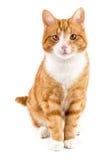 Rote Katze, sitzend in Richtung zur Kamera, lokalisiert im Weiß Lizenzfreies Stockfoto