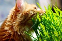 Rote Katze sitzt auf Balkon über grüne Sprösslinge von Hafern im Behälter Lizenzfreies Stockbild