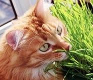 Rote Katze sitzt auf Balkon über grüne Sprösslinge von Hafern im Behälter Stockfotos