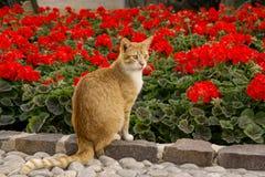Rote Katze sitzt in einer halben Drehung auf einer Grenze nahe dem großen blühenden Bett einer roten Begonie Lizenzfreies Stockfoto