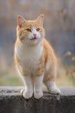 Rote Katze steht auf einem Felsen lizenzfreie stockfotografie