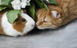 Rote Katze und Meerschweinchen Stockfotos