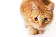 Rote Katze wird auf Weiß lokalisiert Stockfoto