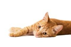 Rote Katze wird auf Weiß lokalisiert Stockfotografie