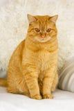 Rote Katzenahaufnahme Lizenzfreie Stockfotos