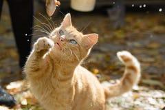 Rote Katzenspiele mit einem Fisch Lizenzfreie Stockbilder