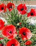 Rote Keilschwanzsittiche auf der Wiese stockbild