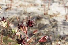 Rote Kelche von Roselle pflanzt Hibiscus sabdariffa Lizenzfreies Stockbild