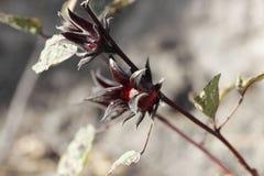 Rote Kelche von Roselle pflanzt Hibiscus sabdariffa Lizenzfreie Stockfotografie