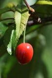 Rote Kirsche und Blätter gegen flockigen Hintergrund Stockbild
