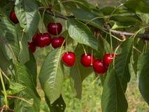 Rote Kirschen auf Baum Lizenzfreie Stockfotos