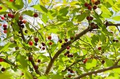 Rote Kirschen auf der Niederlassung Stockbilder