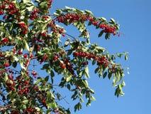Rote Kirschen auf einem Baum lizenzfreies stockbild