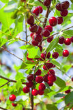 Rote Kirschen auf einem Baum Lizenzfreie Stockfotografie