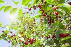 Rote Kirschen auf einem Baum Stockbild