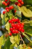Rote Kirschen auf einem Baum Lizenzfreie Stockfotos
