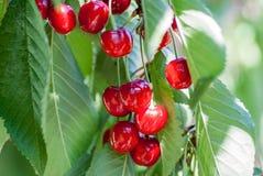 Rote Kirschen auf einem Baumast Stockfotos