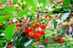 Rote Kirschen auf einem Baumast Lizenzfreies Stockbild