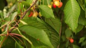 Rote Kirschen auf einem Zweig stock video footage