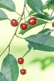 Rote Kirschen auf Niederlassung mit grünen Blättern stockbilder