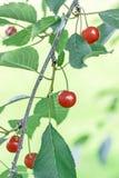 Rote Kirschen auf Niederlassung mit grünen Blättern Lizenzfreies Stockfoto