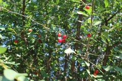Rote Kirschen sind in einem großen Baum reif Lizenzfreie Stockbilder