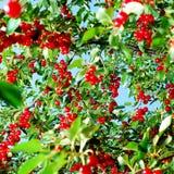 Rote Kirschfrüchte auf Baum Lizenzfreies Stockfoto