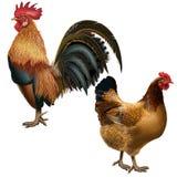 Rote Klage des Hahns und der Henne auf einem leeren Hintergrund Lizenzfreie Stockbilder